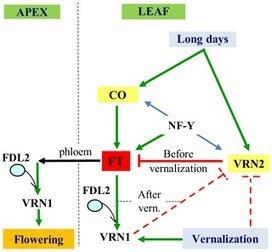 PLOS Genetics: Wheat TILLING Mutants Show That the Vernalization Gene VRN1 Down-Regulates the Flowering Repressor VRN2 in Leaves but Is Not Essential for Flowering | Plant Breeding and Genomics News | Scoop.it