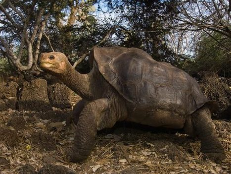 Lonesome George, Last of His Kind, Dies in Galápagos | North & South America-Geography to the Point | Scoop.it