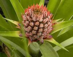 Growing Pineapples Outside the Tropics - Mother Earth News | edible landscaping | Scoop.it