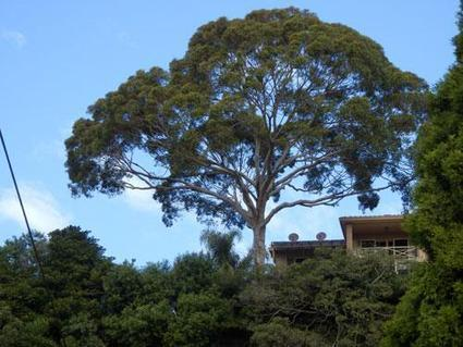 Twitter / savingourtrees: Stunning Eucalypt on the top ... | Eucalypt Response to Climate | Scoop.it