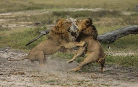 Cecil the lion's brother Jericho shot dead in Zimbabwe | Géopolitique & Géo-économie | Scoop.it