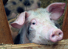 ASPCA   Farm Animal Cruelty   factory farms   Scoop.it