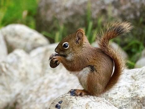 Photos de rongeurs : Ecureuil roux d'Amérique - Ecureuil de l'Hudson - Tamiasciurus hudsonicus - American red squirrel | Fauna Free Pics - Public Domain - Photos gratuites d'animaux | Scoop.it