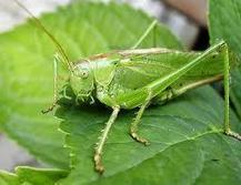 Twitter / jomonmathewk: @shreyaghoshal Crickets, family ... | Bug Hugger | Scoop.it