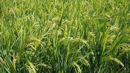 Rothamsted mention: GM golden rice advocate named new Rothamsted Research boss | BIOSCIENCE NEWS | Scoop.it