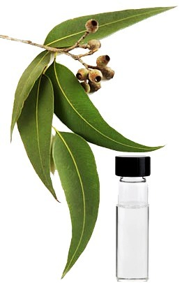 Pure and organic Eucalyptus Oil has a broad range of health benefits. | Essential Oils | Scoop.it