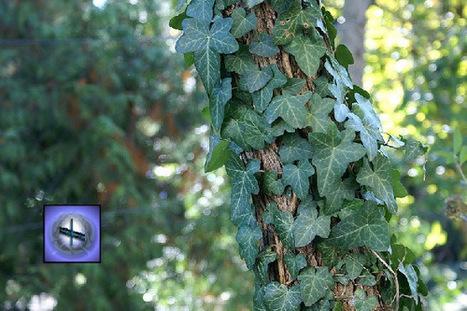 Ivy: Druid Alphabet   Ancient Origins of Science   Scoop.it