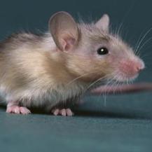 Muizen genezen beter door 'gen voor eeuwige jeugd' - NU.nl | Wetenschap en techniek | Scoop.it