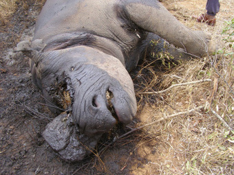 Hot pursuit of rhino poachers into Mozambique could be on the way | What's Happening to Africa's Rhino? | Scoop.it