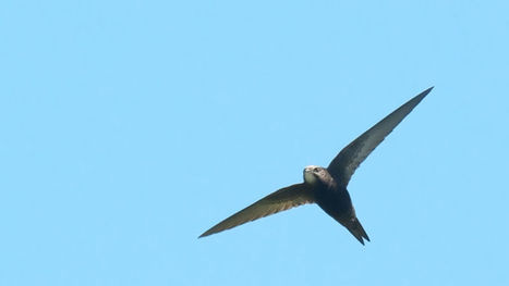 This Amazing Little Bird Can Fly for Nearly a Year Straight | News we like | Scoop.it