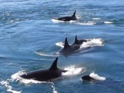 Rare parade of orcas give Galiano Island residents an incredible show | Sustain Our Earth | Scoop.it