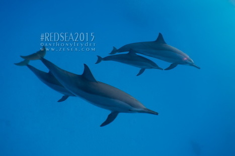 Nager avec les dauphins de Sataya en Mer Rouge - Le Blog de la Plongée Bio | Biologie marine | Scoop.it