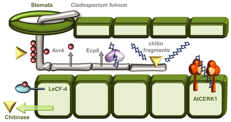 Frontiers | The role of the cell wall in plant immunity | Plant-Microbe Interaction | bibliofilie | Scoop.it