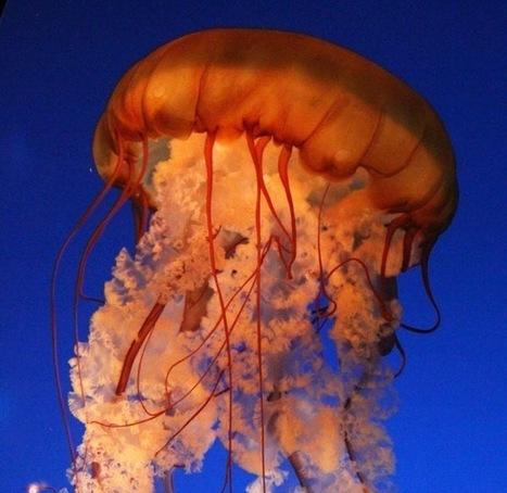 Prolifération des méduses : pêche et environnement en cause | Les Nouvelles de Shaan Azim | Scoop.it