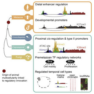 The Dynamic Regulatory Genome of Capsaspora and the Origin of Animal Multicellularity | MycorWeb Plant-Microbe Interactions | Scoop.it