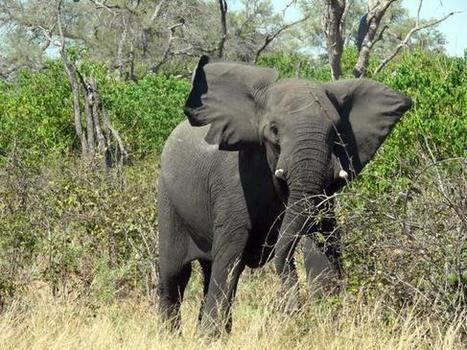The dental factor in elephant evolution - The Hindu | elephant evolution | Scoop.it