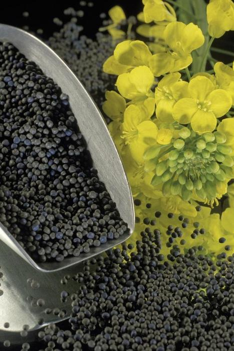 Canola genome sequence reveals evolutionary 'love triangle' | leapmind | Scoop.it