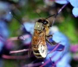 Australia equipa con sensores a 5.000 abejas para comprender su colapso - Onda Cero | Varroosis | Scoop.it