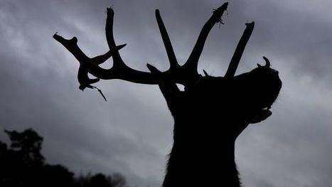 Un cerf de Brocéliande égaré dans les rues de Rennes | Brocéliande naturelle, rafraîchissante, créative | Scoop.it