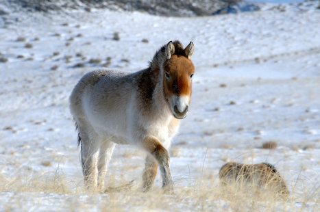 Genome of Horse Buried 700,000 Years Is Recovered | Zoology | Scoop.it