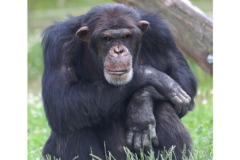 Some chimps smarter than others, say scientists | animals and prosocial capacities | Scoop.it