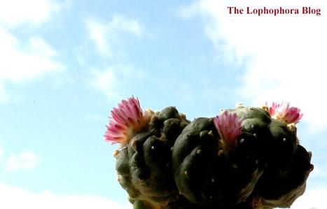 Peyote in the sky… | The Lophophora Blog | Scoop.it