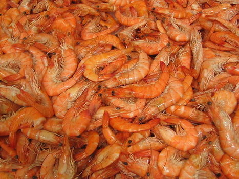 A universe of nothing but shrimp | Lab Rat, Scientific American Blog Network | Media Cultures: Microbiology in the news | Scoop.it