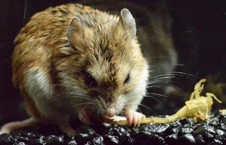 [Vidéo] Une souris insensible aux piqûres de scorpion [en anglais]   EntomoNews   Scoop.it