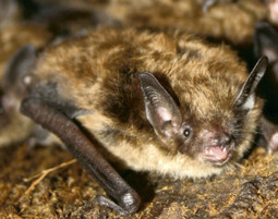 Little Brown Bat | The Times | Bat Biology and Ecology | Scoop.it
