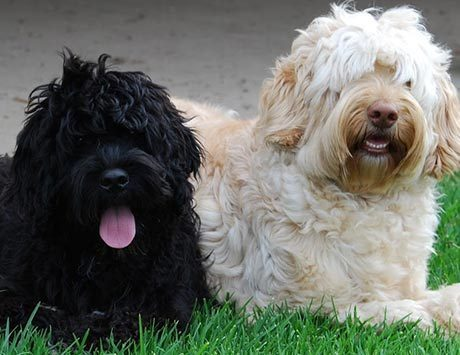 Trusted and Licensed Australian Labradoodle Breeders   Informative Sites about Labradoodle   Scoop.it