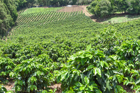 Costa Rica's best coffee comes from this hillside in Alajuela | Coffee News | Scoop.it
