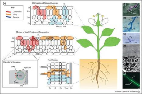 Current Opinion in Plant Biology (2012): Plants and pathogens: putting infection strategies and defence mechanisms on the map | Plant Genomics | Scoop.it