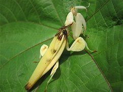Orchid mantis' disguise lures prey › News in Science (ABC Science) | Harmony Design, Art, and Science | Scoop.it