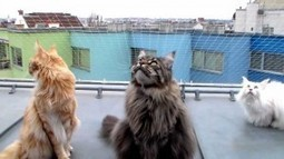 Meet 3 Maine Coon Cats Who Like To Chatter with The Birds | Catnip Daily | Scoop.it