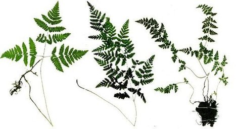 Ferns Get It On After 60 Million Years Apart | The Artful Amoeba, Scientific American Blog Network | Science&Nature | Scoop.it