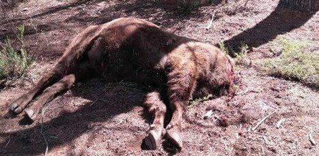 Poison found inside Spanish preserve where bison was decapitated | spanish news in english | Scoop.it