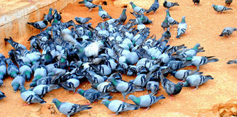 4 Common Diseases Pigeons Carry | Home Improvment, Business | Scoop.it