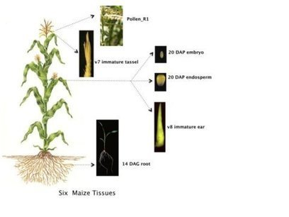 'Amazing protein diversity' is discovered in the maize plant | MAIZE | Scoop.it
