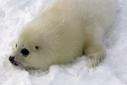 Climate change killing harp seal pups | Freefire Nature | Scoop.it