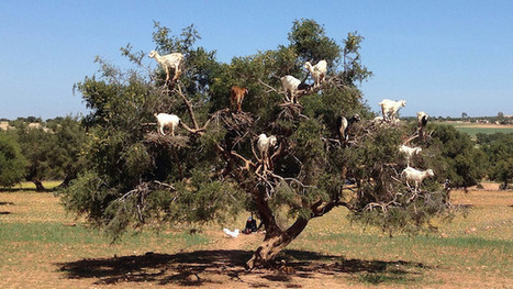This Goat Tree Is Just One of the Amazing Things You'll Find on Atlas Obscura | Strange days indeed... | Scoop.it