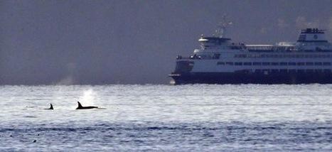 Dozens of Orcas Surround Ferry Returning Suquamish Artifacts Home | world news | Scoop.it