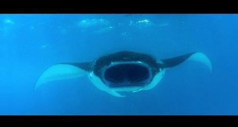 Vidéo HD | Maldives - Participez à une expédition scientifique sur les raies manta géantes ! | Rays' world - Le monde des raies | Scoop.it