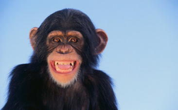 Decoding Chimpanzee: Scientists Learn to Read Chimp Gestures ... | ANIMAL LATITUDE NEWS | Scoop.it