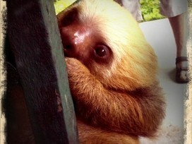 Sloths Could Be Carrying Cancer Treatment Around On Their Backs - Geekosystem   Rainforest EXPLORER:  News & Notes   Scoop.it