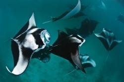 8 faits étonnants à propos des raie Manta (en anglais)   Rays' world - Le monde des raies   Scoop.it