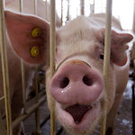 Pig Farmers Face Pressure on the Size of the Sty | Animals R Us | Scoop.it