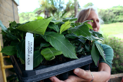 Samoan Breadfruit Makes a Splash in the Caribbean | Agricultural Biodiversity | Scoop.it