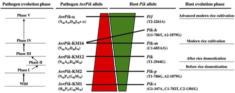 MPMI: Stepwise Arms Race between AvrPik and Pik Alleles in the Rice Blast Pathosystem (2014)   Plant-Microbe interactions   Scoop.it