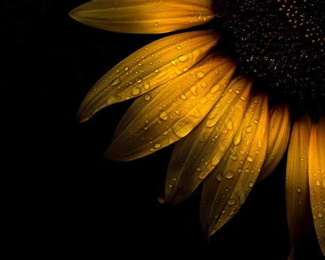 Backyard Flowers 28 Sunflower by Brian Carson | My Photo | Scoop.it