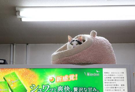 Hachi, ce chat aux «sourcils porte-bonheur» | Mangas, littérature et culture d'Asie | Scoop.it